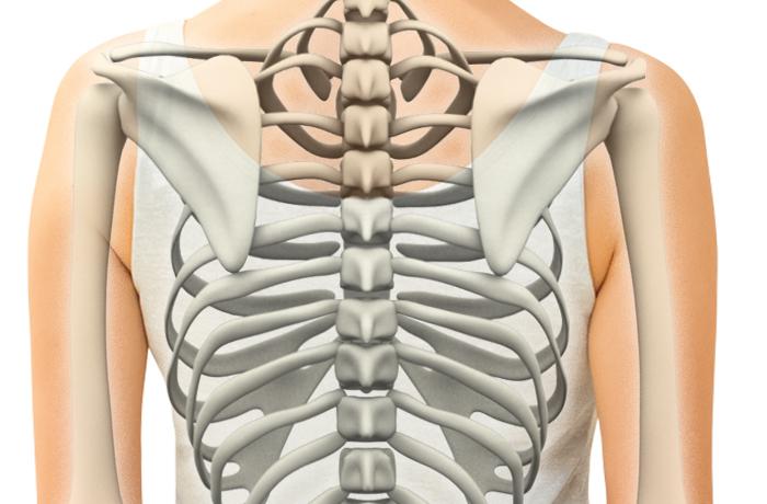 背骨の3つの重要な役割