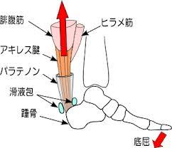 アキレス腱の解剖図